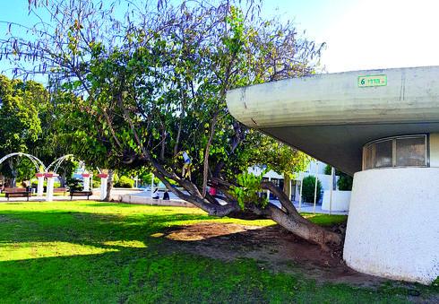 עץ הבוהינה