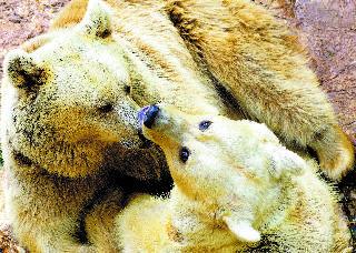 הדובים בחצר