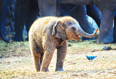 הפיל פלא