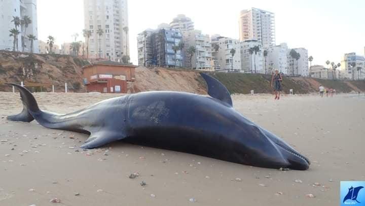 הדולפין שנפלט אל החוף