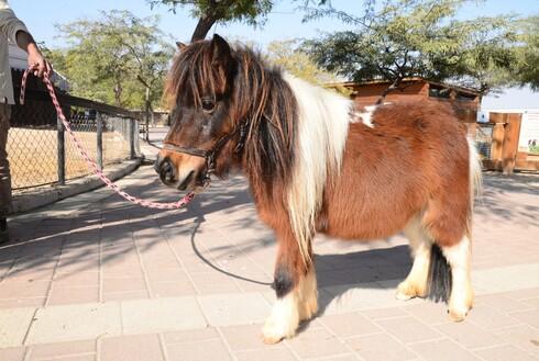 הסוס הגמדי ושאר בעלי החיים בגן החיות הזאולוגי בבאר שבע מנסים להסתגל לסגר ולגן ללא מבקרים