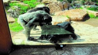 איזה בובה. השימפנזים מתעניינים