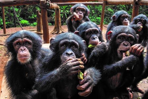 """המקלט בטאקוגמה. """"יש לנו מיזם של 'אמץ שימפנזה'"""""""